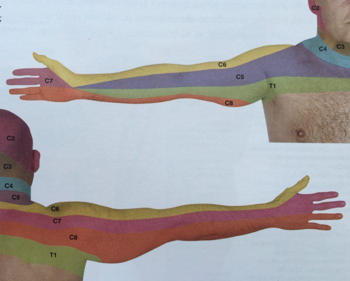 dermatomy kończyny górnej